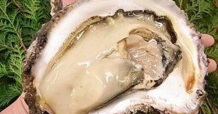 徳島産天然岩牡蠣