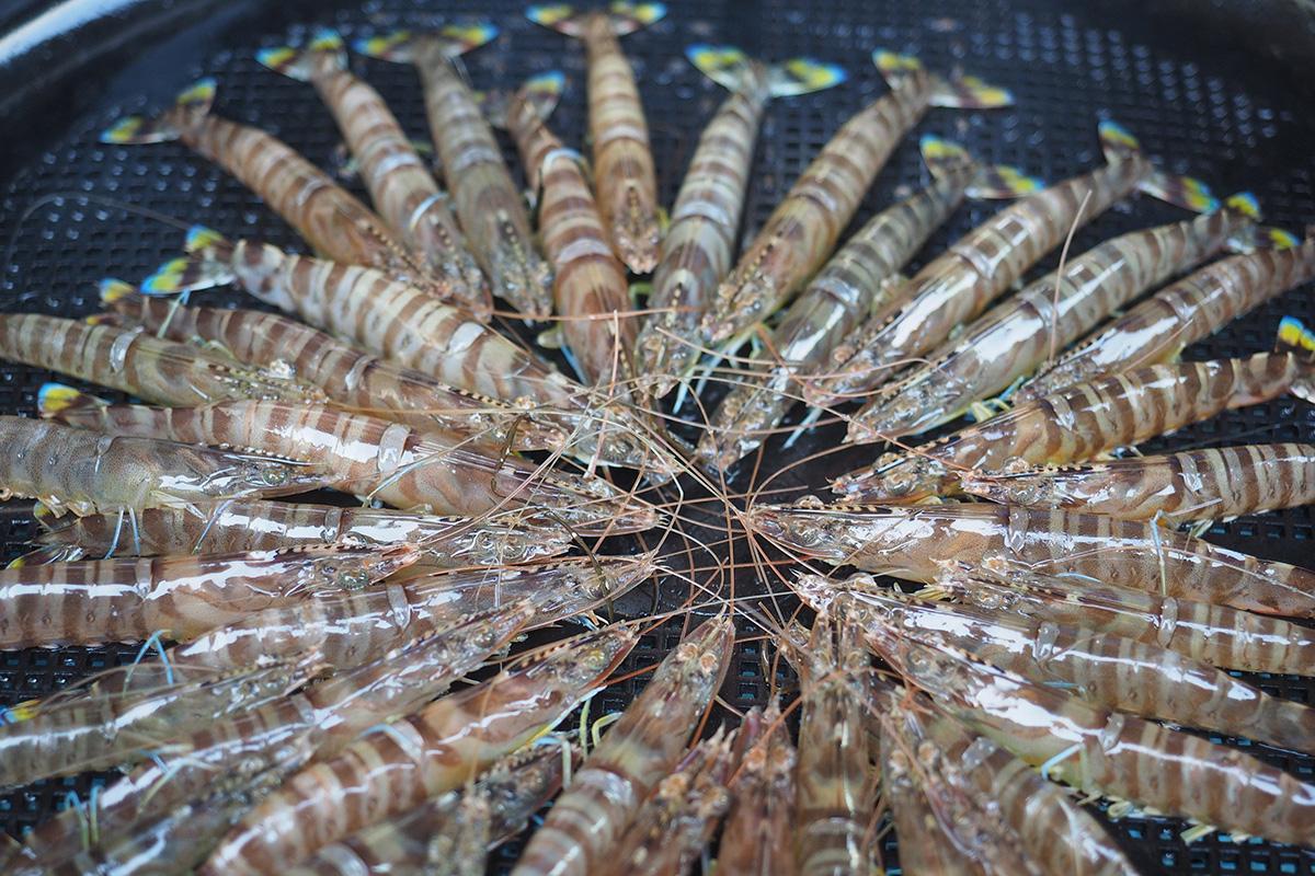 魚魯魚魯 旬の食材 クルマエビ