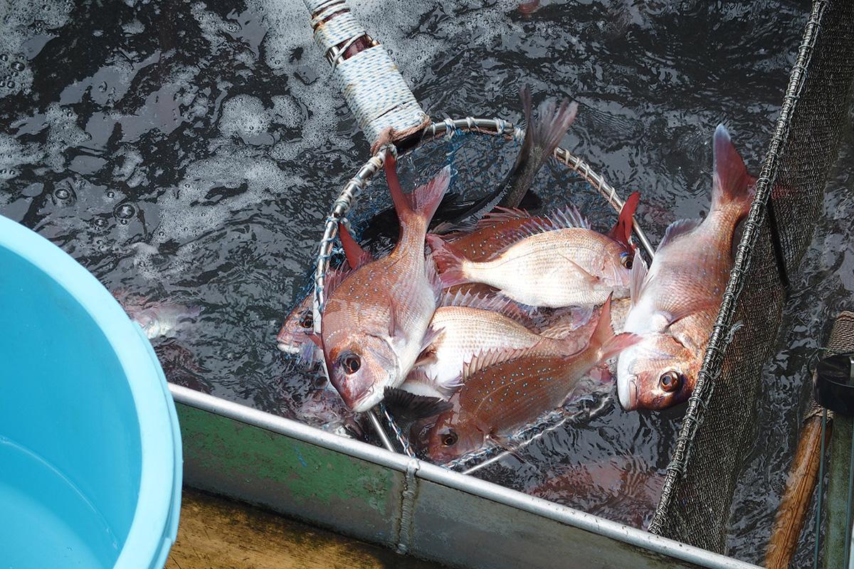 魚魯魚魯 旬の食材 マダイ
