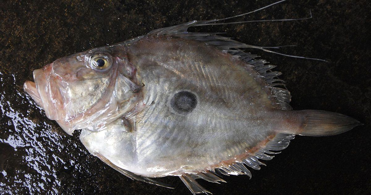魚魯魚魯 旬の食材 マトウダイ