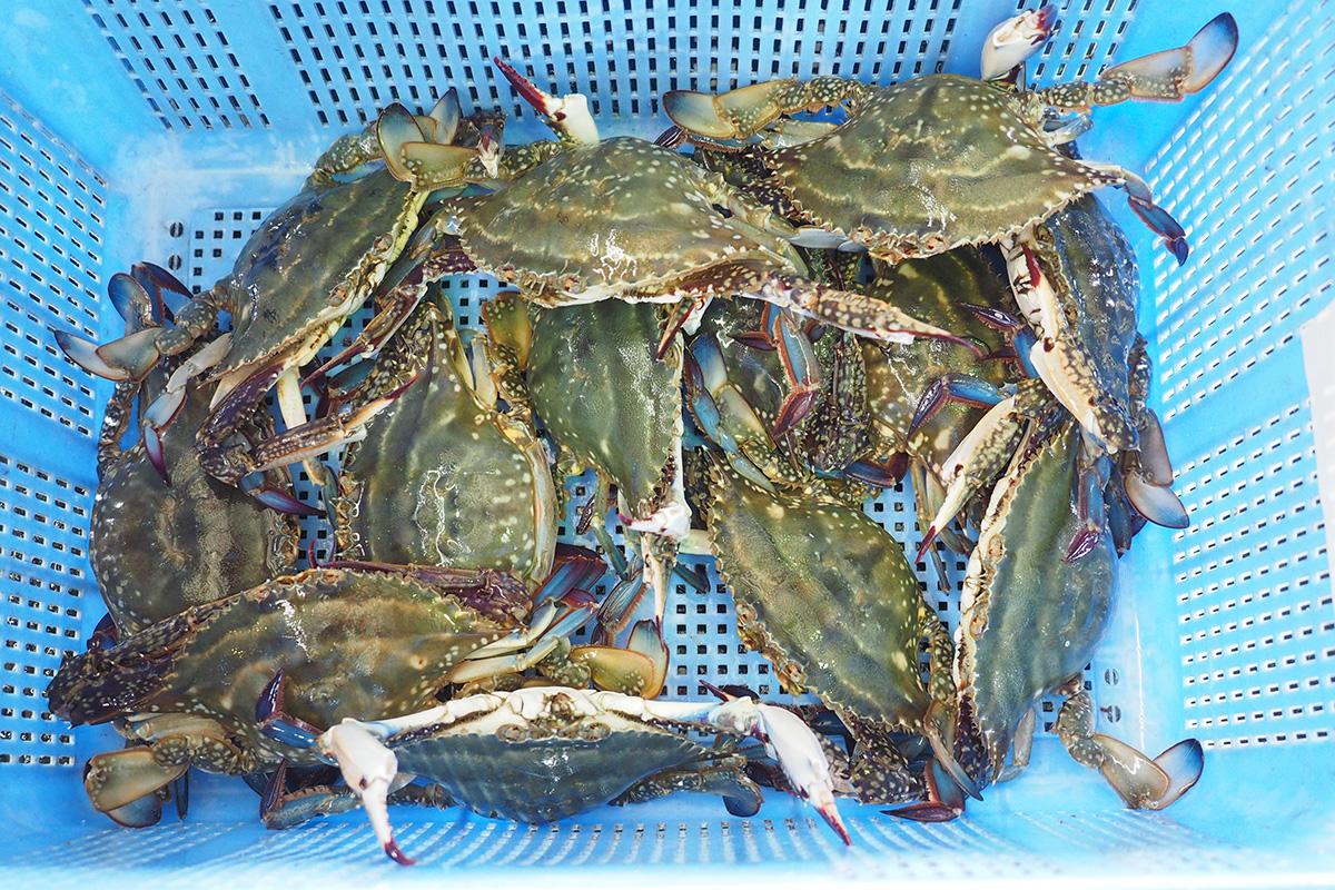 魚魯魚魯 旬の食材 ワタリガニ ガザミ