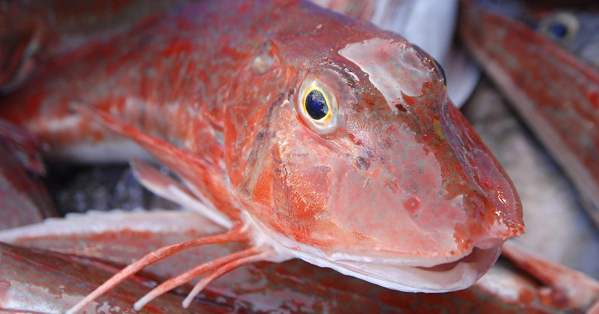 魚魯魚魯 旬の食材 ホウボウ