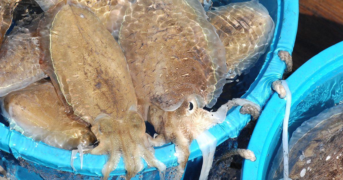 魚魯魚魯 旬の食材 モンコウイカ