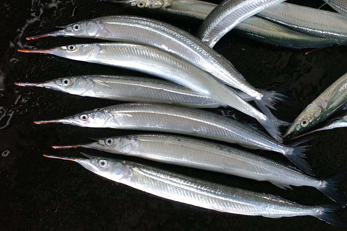 魚魯魚魯 旬の食材 サヨリ