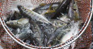 魚魯魚魯 旬の食材 マアジ